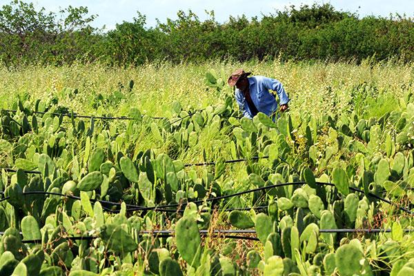 Em Alagoas e também no Rio Grande do Norte, plantar palma foi saída para alimentar rebanhos
