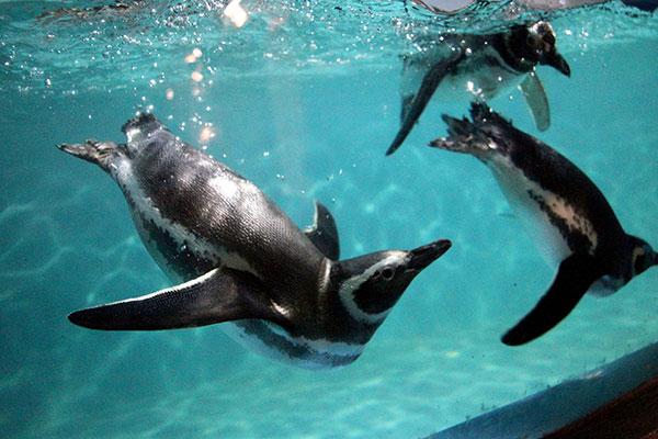 Pinguins também podem ser vistos pela vitrine do Aquário