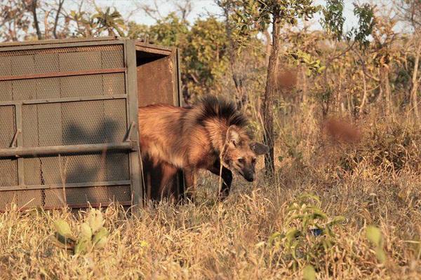 A estimativa é que no Brasil vivam cerca de 24 mil lobos-guará