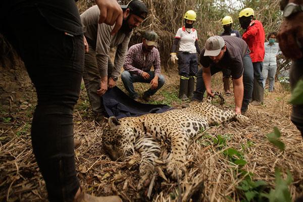 Grupo de salvamento resgata onça debilitada, que foi vítima dos incêndios no Pantanal