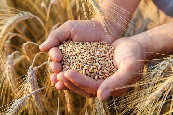 O trigo, principal produto importado representou, de janeiro a agosto, 35% das importações