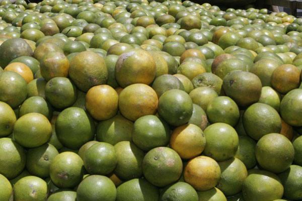 Laranja é um dos tipos de frutas que podem ser prejudicadas pela praga da mosca-negra