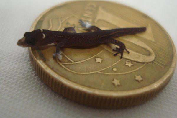 Espécie de lagarto foi encontrada no Parque da Mata de Pipa