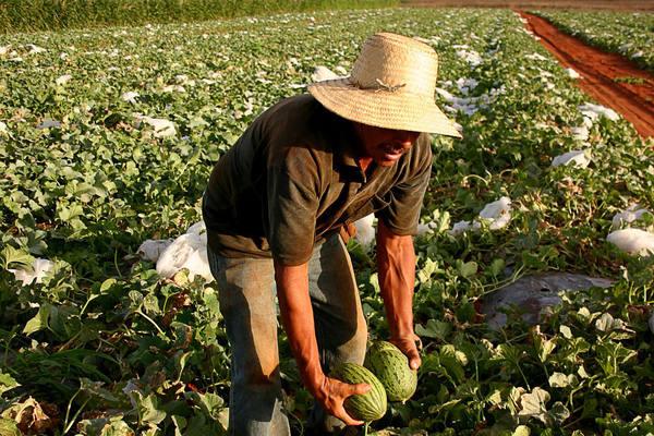 Produção de melão: crescimento mais lento que se esperava