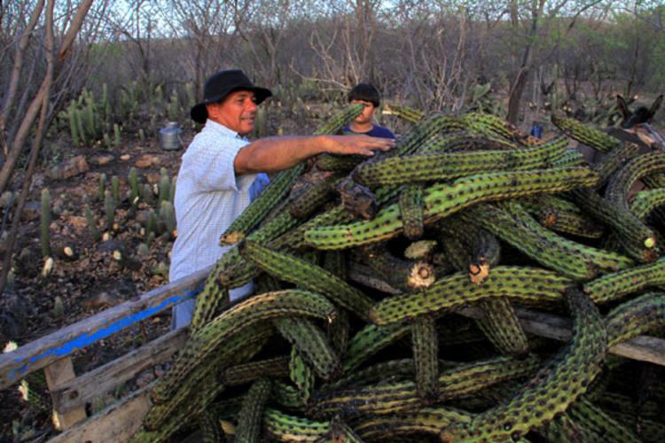 Cena comum à época de estiagens no sertão nordestino, a queima de xique-xique é o recurso ao qual agricultores, como Paulo Assunção, emSantana do Matos,  dispõem para escapar o magro rebanho