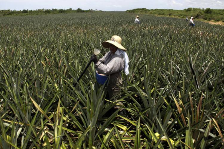 Produção de abacaxi começou nos assentamentos, mas hoje estendeu-se a outras comunidades