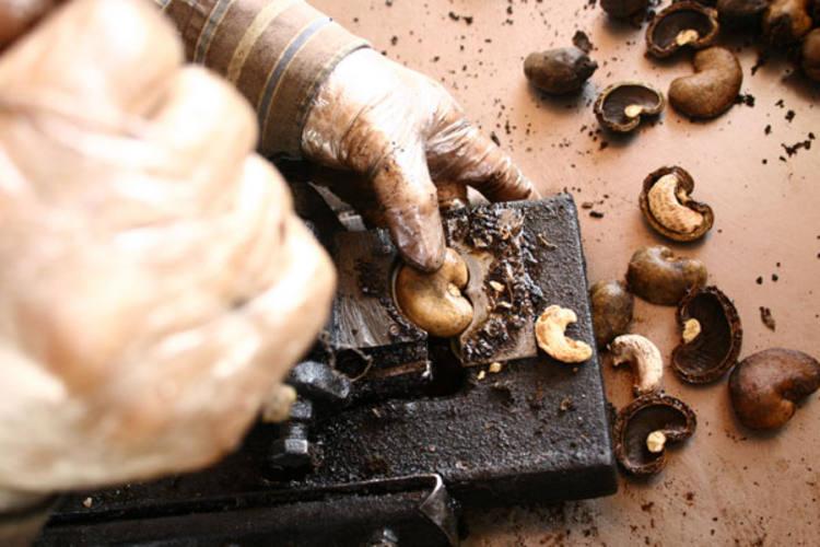 A produção de castanhas do Rio Grande do Norte é considerada a terceira maior do Brasil