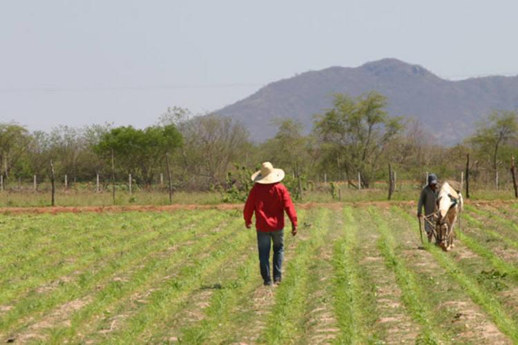 Pequenos agricultores são os mais prejudicados com os veranicos e podem perder toda a safra