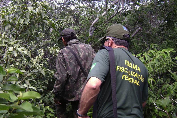 Acompanhado de um guia, fiscais do Ibama entram na mata em busca de caçadores que abatem arribaçãs em período de reprodução