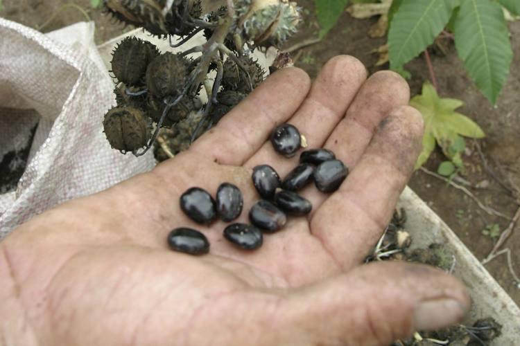 A mamona é um dos produtos que podem render biocombustível