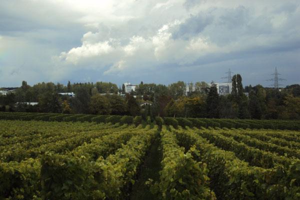 A beleza e a qualidade dos vinhedos suíços podem ser vistas neste Satigny, em Genebra