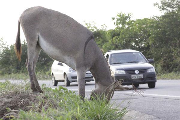 Na BR 226, a TN flagrou animais soltos bem próximo a uma das estradas mais movimentadas do Estado