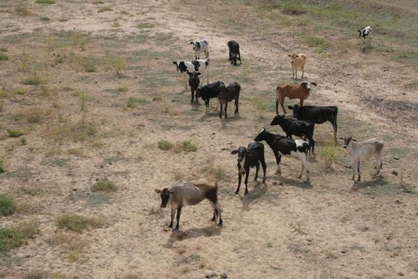 Estiagem prolongada deixa 139 municípios do RN em estado de emergência. Gado sofre com a seca