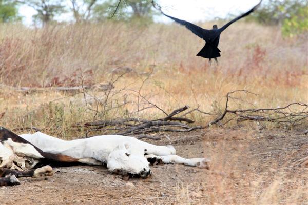 Em meio à caatinga, os animais estão caindo e, sem forças para se reerguer, morrem.