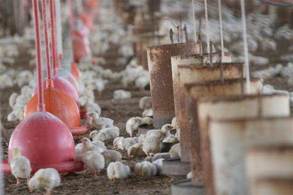 Na fazenda Caiçarinha, Glauber Bezerra, investe na avicultura há dez anos. Mantém um aviário com 15 mil aves.