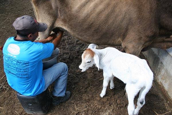 No Estado, o programa absorve 25 por cento de todo o leite produzido