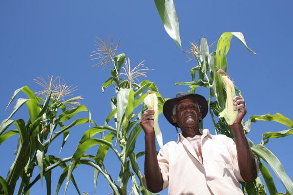 Produção de milho no interior potiguar: a cultura foi uma das que mais sentiram os efeitos da seca